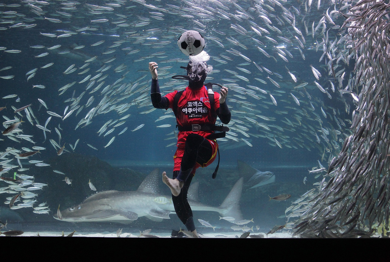 A South Korean diver clad in a soccer uniform swims with sardines for South Korean team's success in the 2014 FIFA World Cup Brazil at the Coex Aquarium in Seoul on June 9, 2014.