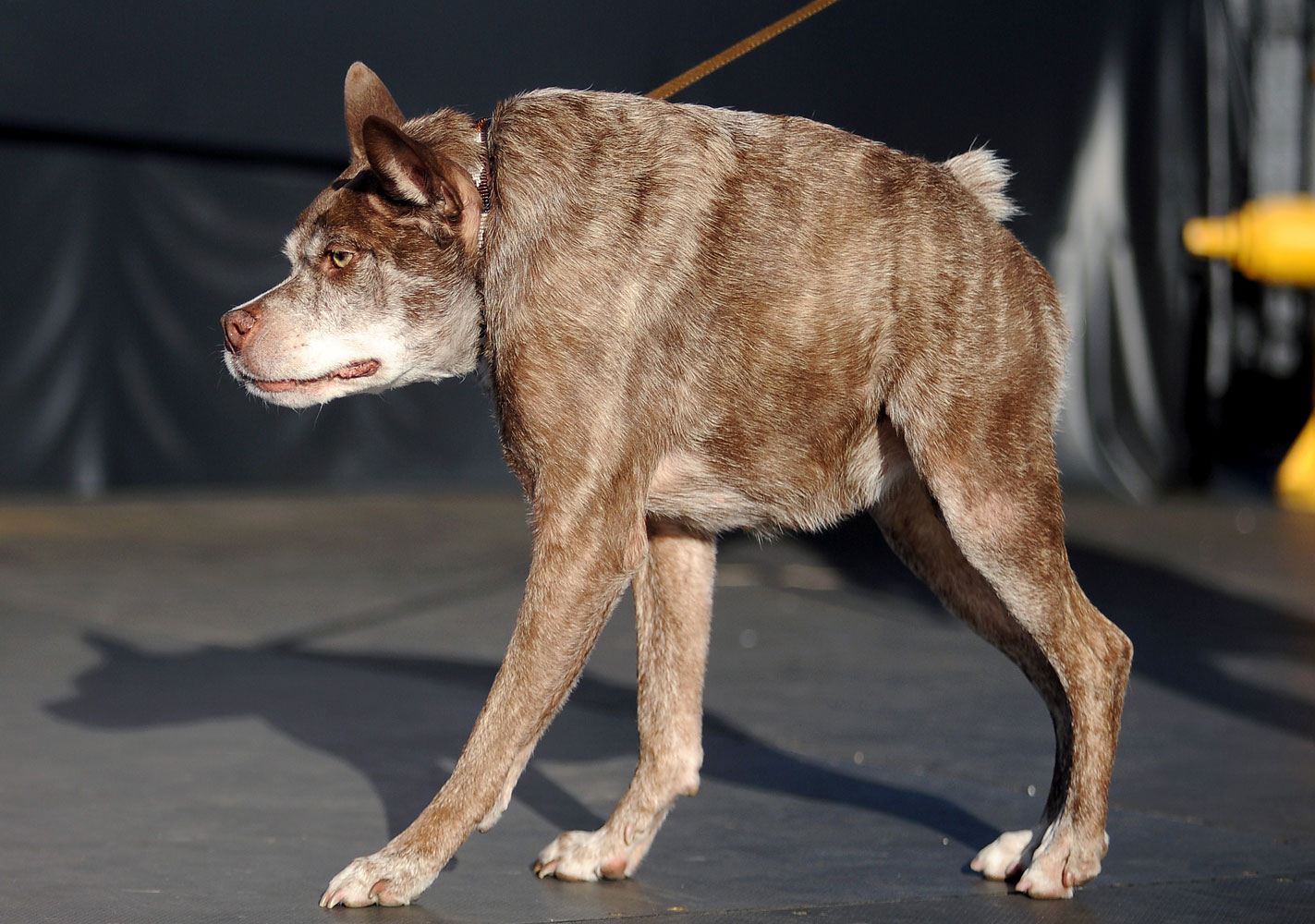 Quasi Modo, whom the owner claims has a back too short for its body, walks on the stage at The World's Ugliest Dog Competition.