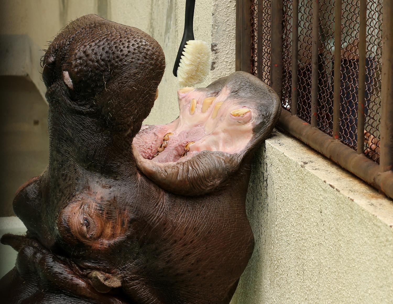 A zoo employee cleans the teeth of a 30 year old Hippopotamus named Kiboko at Himeji Zoo n Himeji, Japan on June 4, 2014 i
