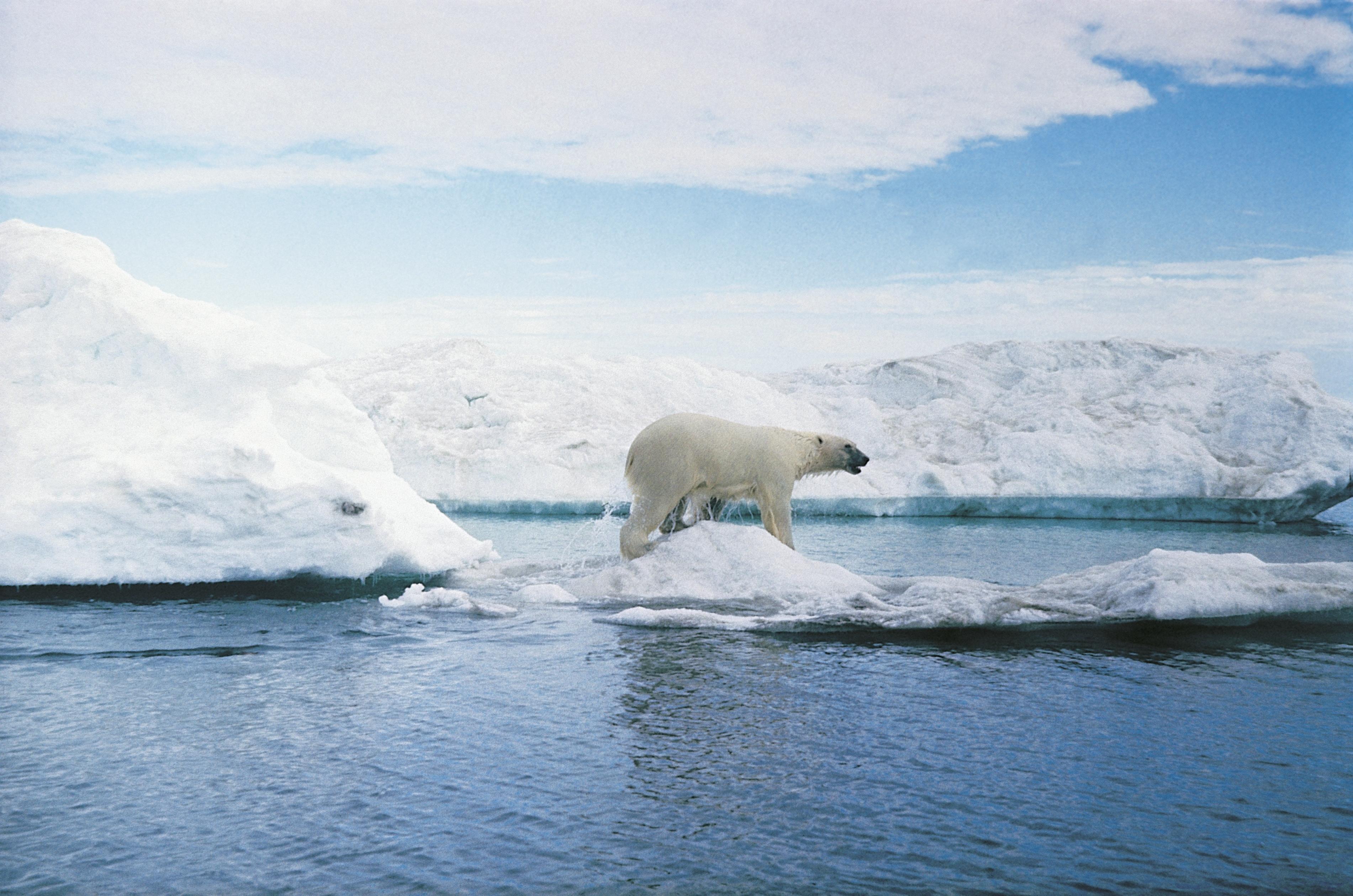 Polar bear (ursus maritimus) in arctic landscape.