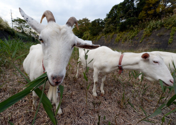 Two goats eat weeds at a Tokyo condominium complex, where owners opted for a quieter, more natural lawn mowing.
