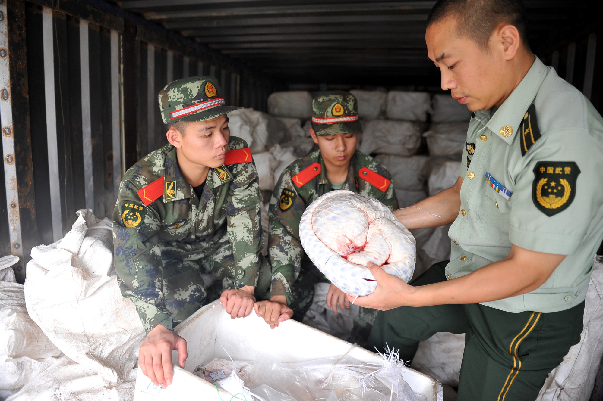 Chinese paramilitary policemen inspect pangolins seized for destruction at a plant in Zhuhai city, in southern China's Guangdong province, in May 2014