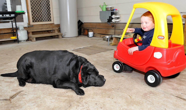 Sampson, the 187-pound labrador, at the Animal Aid vet in Yarra Glen, Victoria, June 21, 2011.