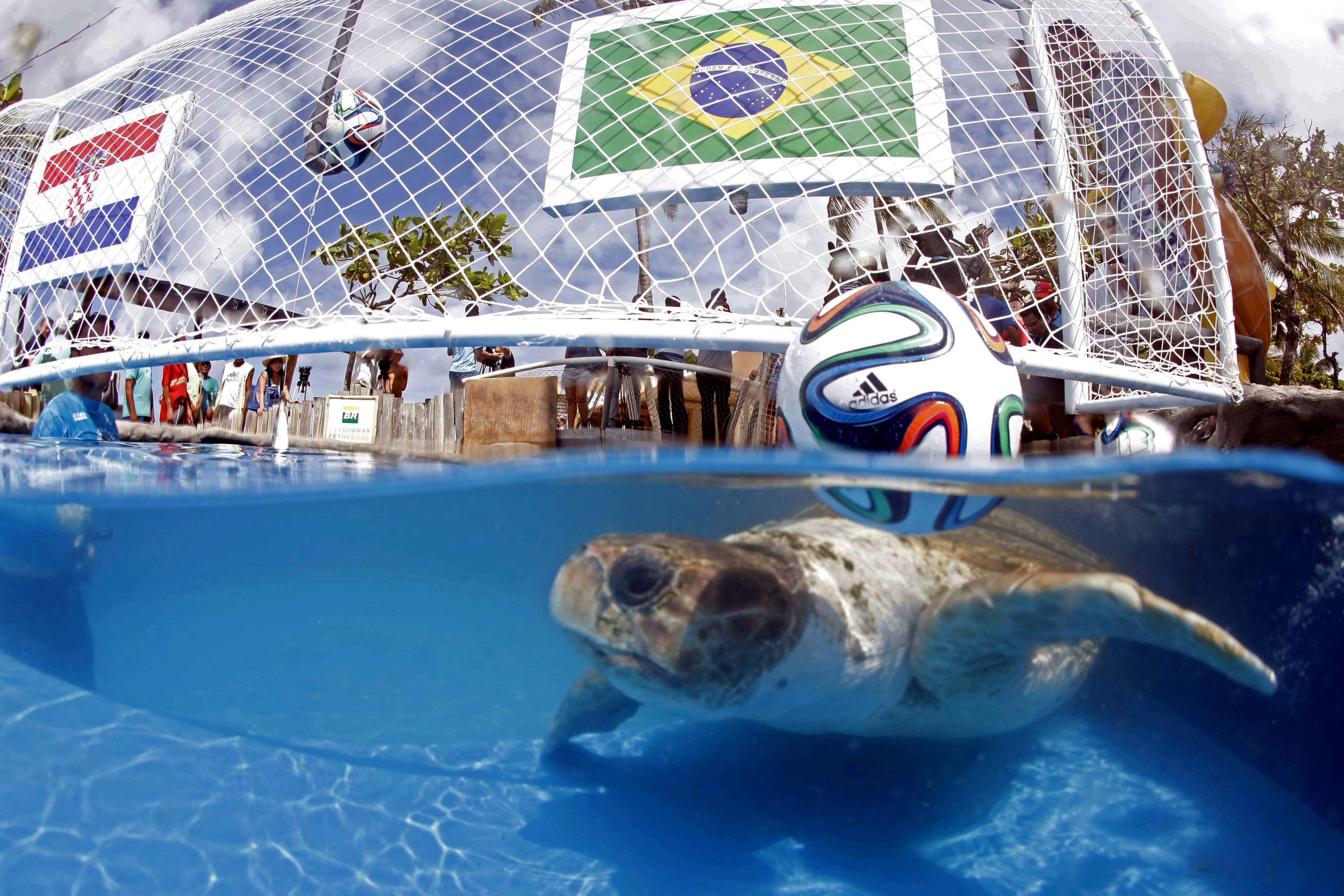 A turtle named Cabeção, or Big Head, swims in a pool in Praia do Forte, Brazil, Tuesday, June 10, 2014.