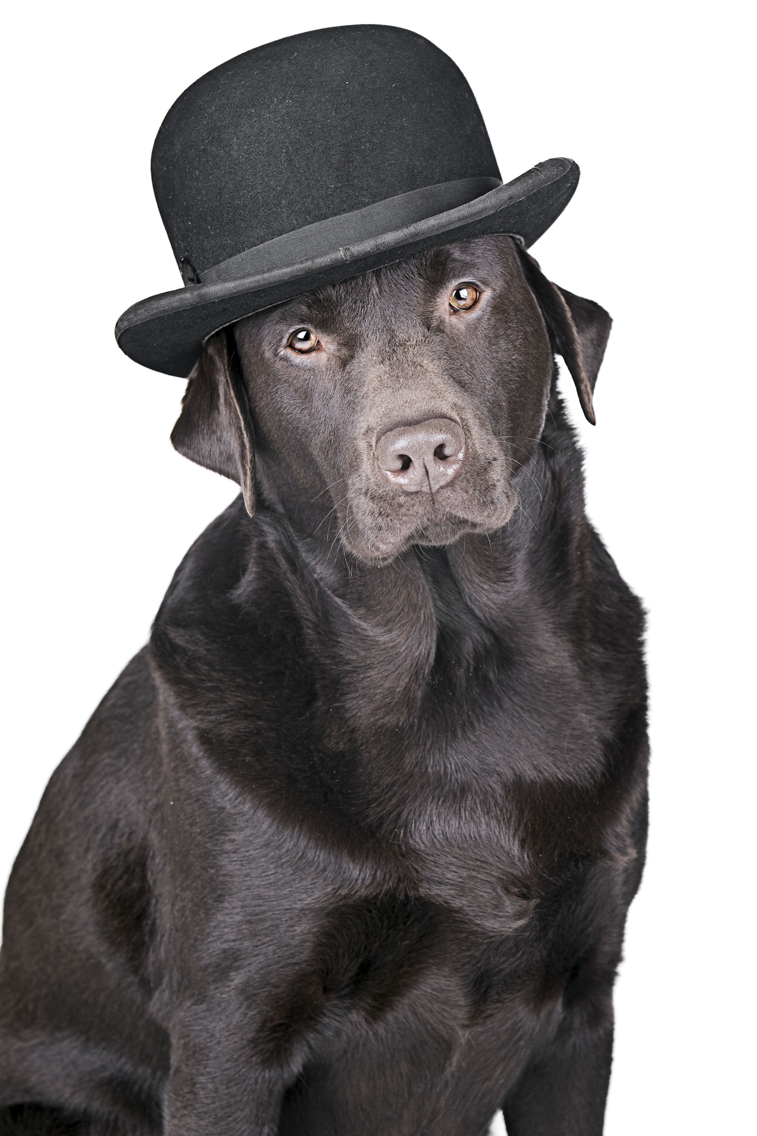 This labrador is wearing his  bezzie  hat.