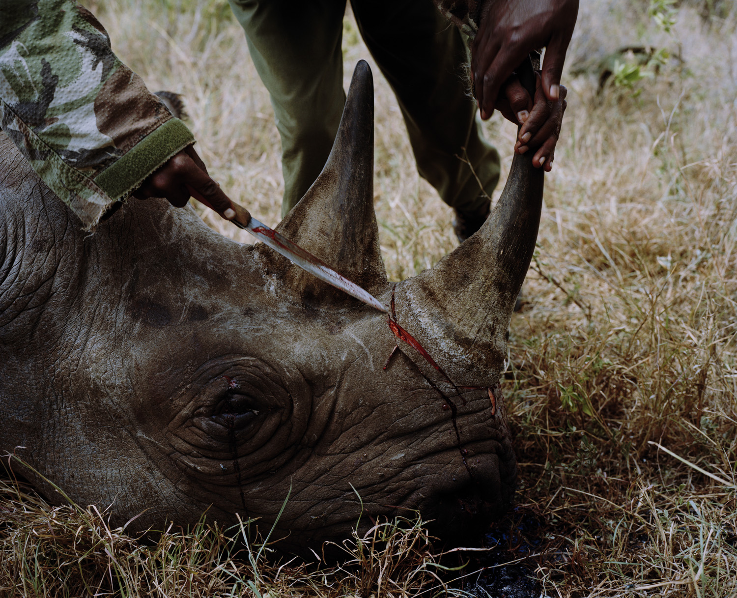 A conservancy ranger removes the horn from a rhino that was killed by poachers who fled the scene on hearing the arrival of an airborne anti poaching team in the Lewa Conservancy, northern Kenya.                                                              When poachers flee without removing rhino horn, or elephant ivory, conservancy rangers, or Kenya Wildlife service are called upon to remove it, once removed it will be taken into custody by Kenya Wildlife Service and stored at its Nairobi Headquarters.