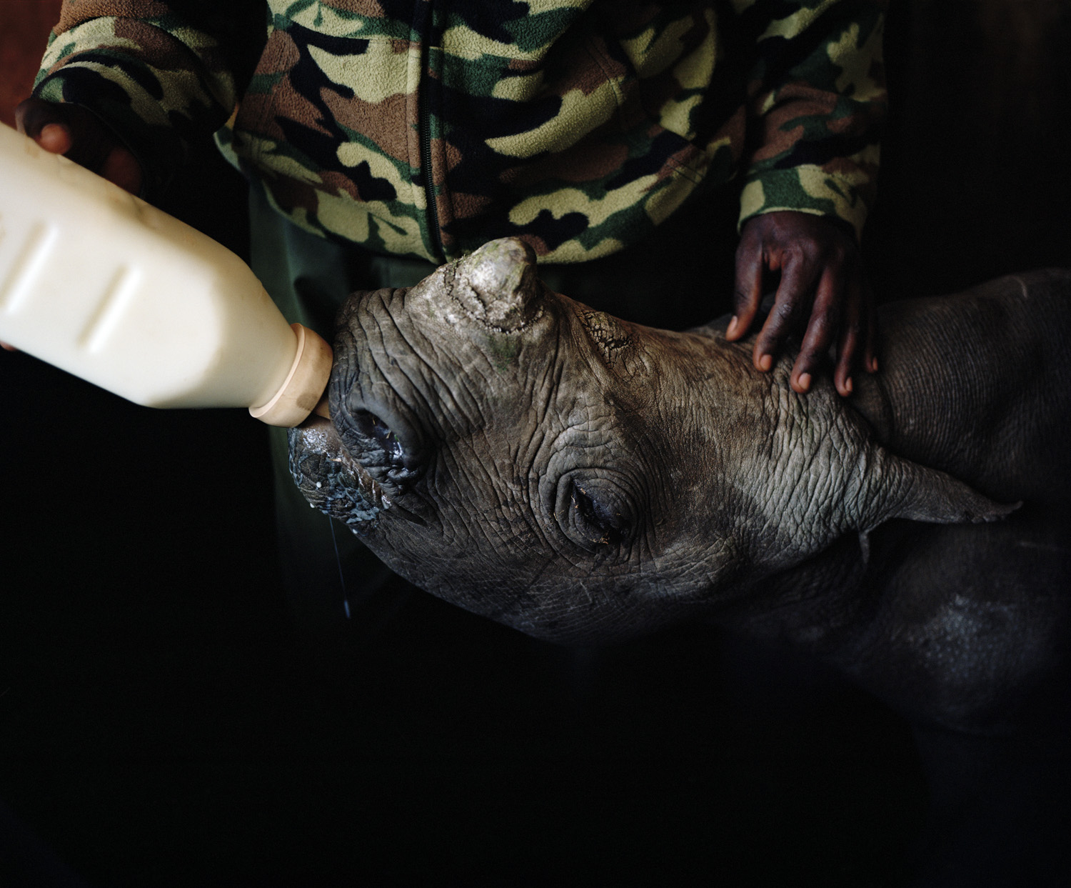 A black rhino calf orphaned by poachers is hand reared by a conservancy ranger. It's hoped that it will be reintroduced into the wild once it is old enough to survive attacks from predators.