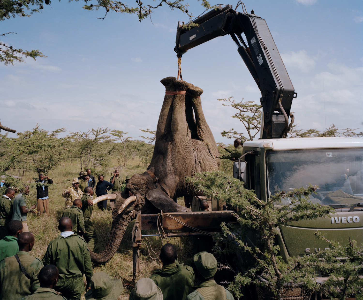Wildlife rangers prepare to relocate an elephant from the Ol Pejeta Conservancy to Meru National Park. Elephants discover quite quickly that their tusks do not conduct electricity, and that if they  curl up their trunks they can quite happily break down electric fences that protect farms.