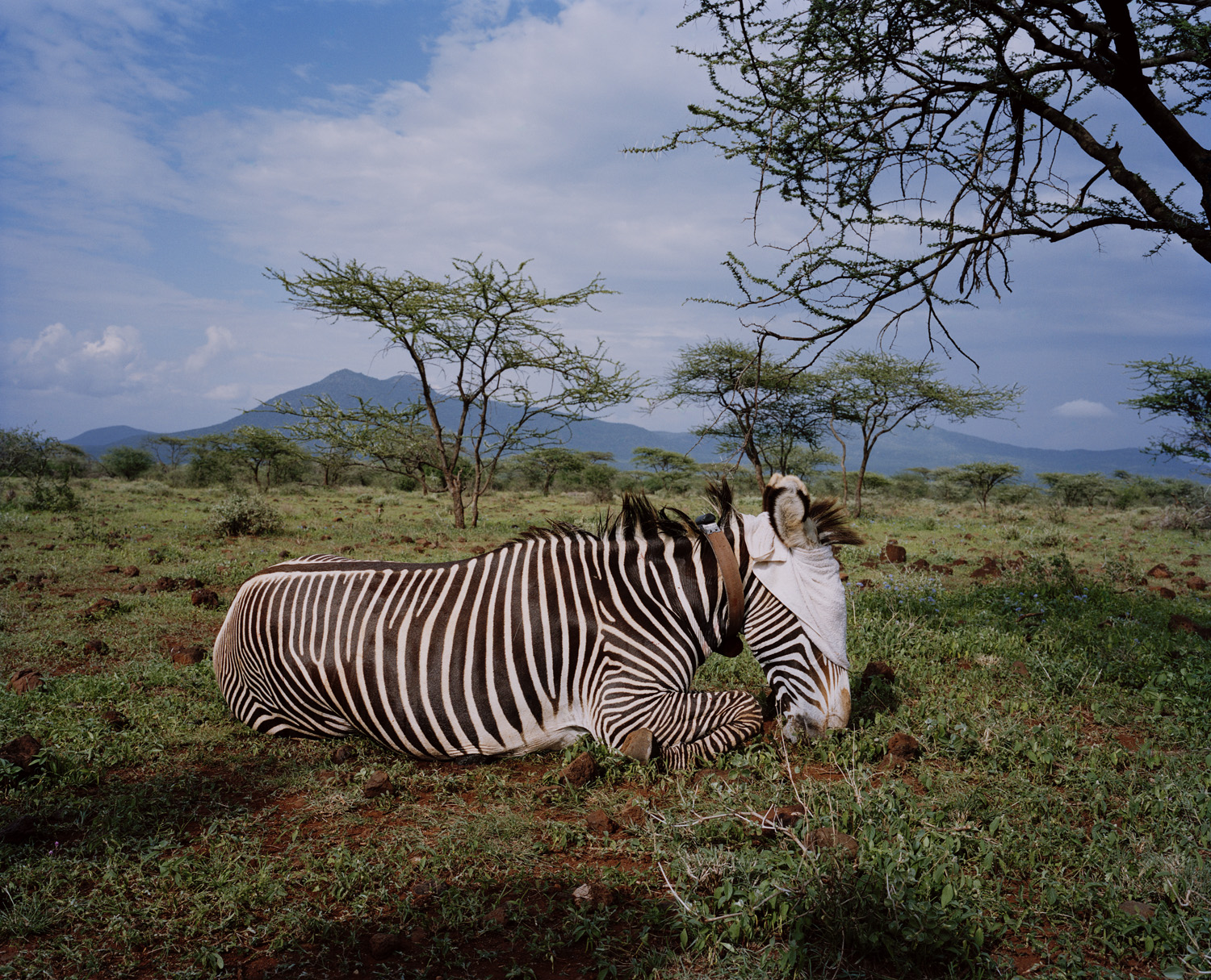 A sedated Grevy's zebra is fitted with a satellite transmitting collar at Lekurruki Community Conservancy, northern Kenya.                                                              Its movement will be monitored by scientists in the US. Over recent years the decline in the numbers of zebras -- 80% in the past three decades -- has been primarily due to poaching, killing for meat, and loss of access to critical resources due to competition with domestic livestock.