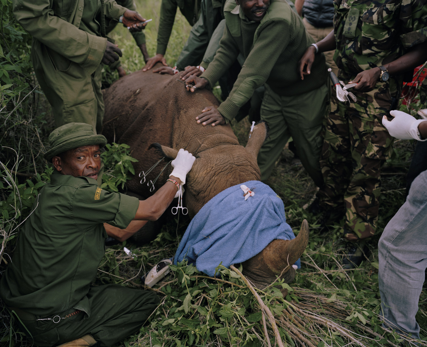 A sedated black rhino is ear notched for identification purposes, Lewa Wildlife Conservancy, northern Kenya.