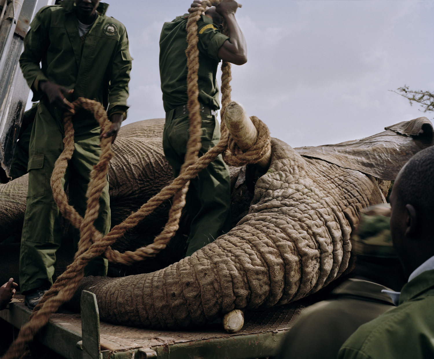 A tranquillized elephant is secured to a truck by rangers prior to be being transferred from Ol Pejeta Conservancy, northern Kenya, to Meru National Park. After repeatedly breaking down electric fences, it became necessary to move this elephant to an area far away from human settlement.