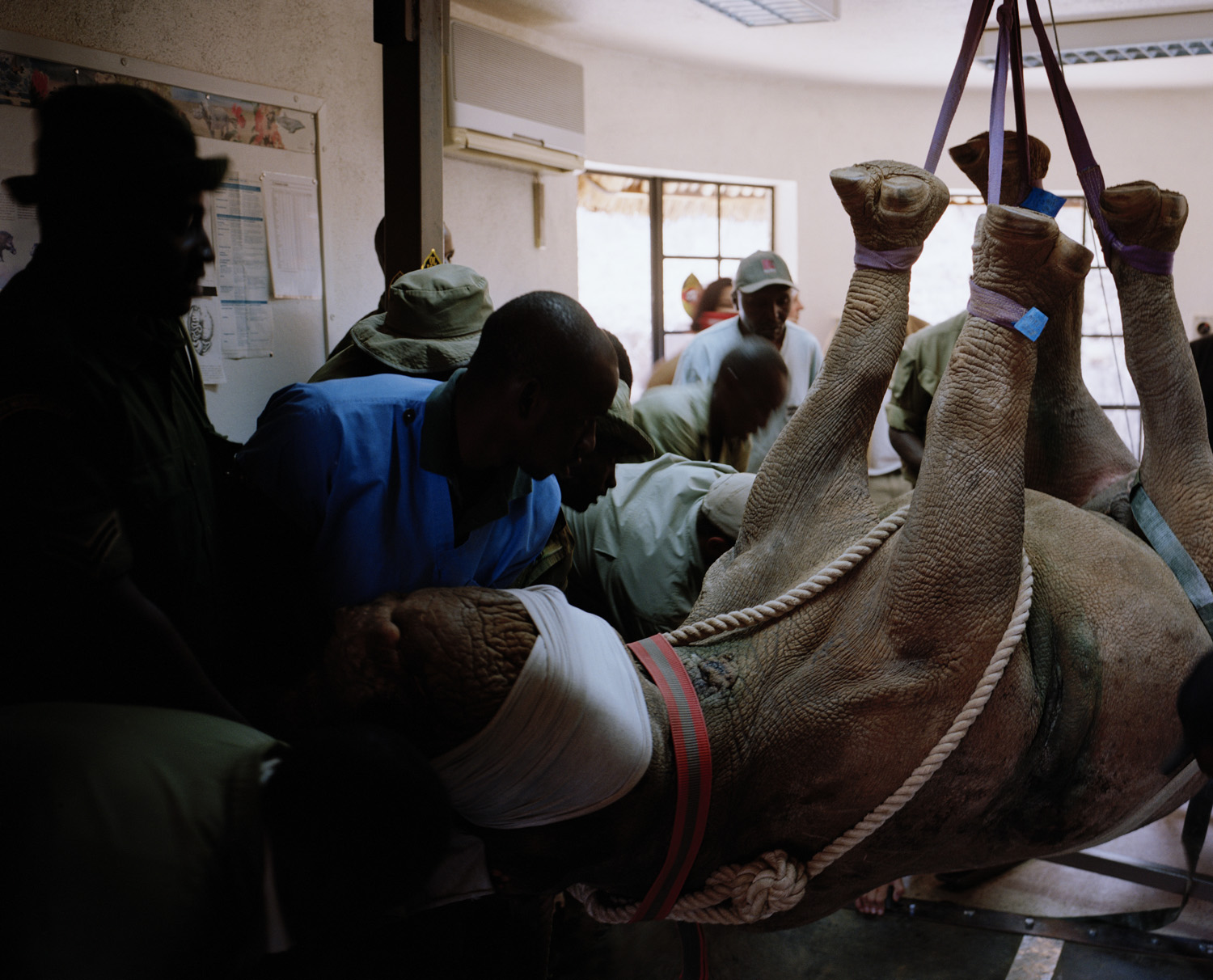 A black rhino is lowered onto a surgeon's operating table at Ol Joggi Conservancy, northern Kenya.