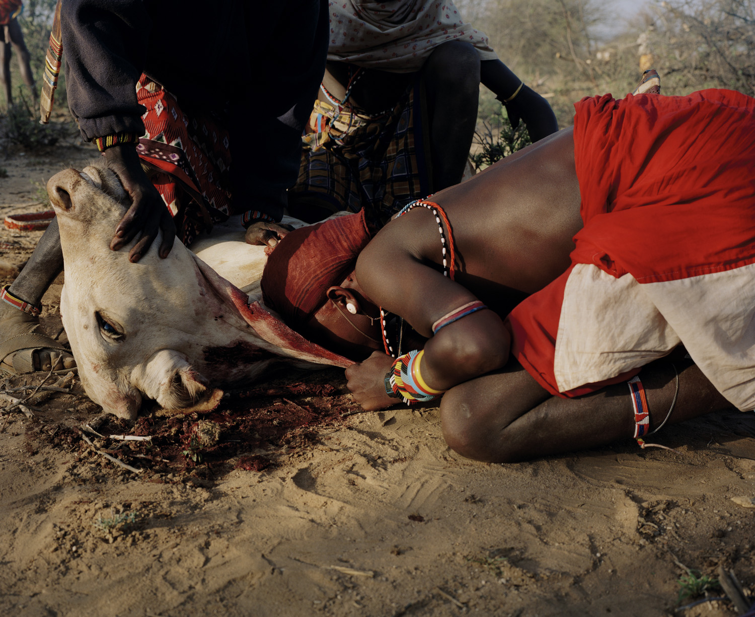 A samburu moran drinks the blood from the neck of a fresh slaughtered cow. A Samburu is a warrior for 13 years, during which time he lives completely in the bush with his cattle, drinking blood from the cows, milk, and occasionally water, and eating meat.