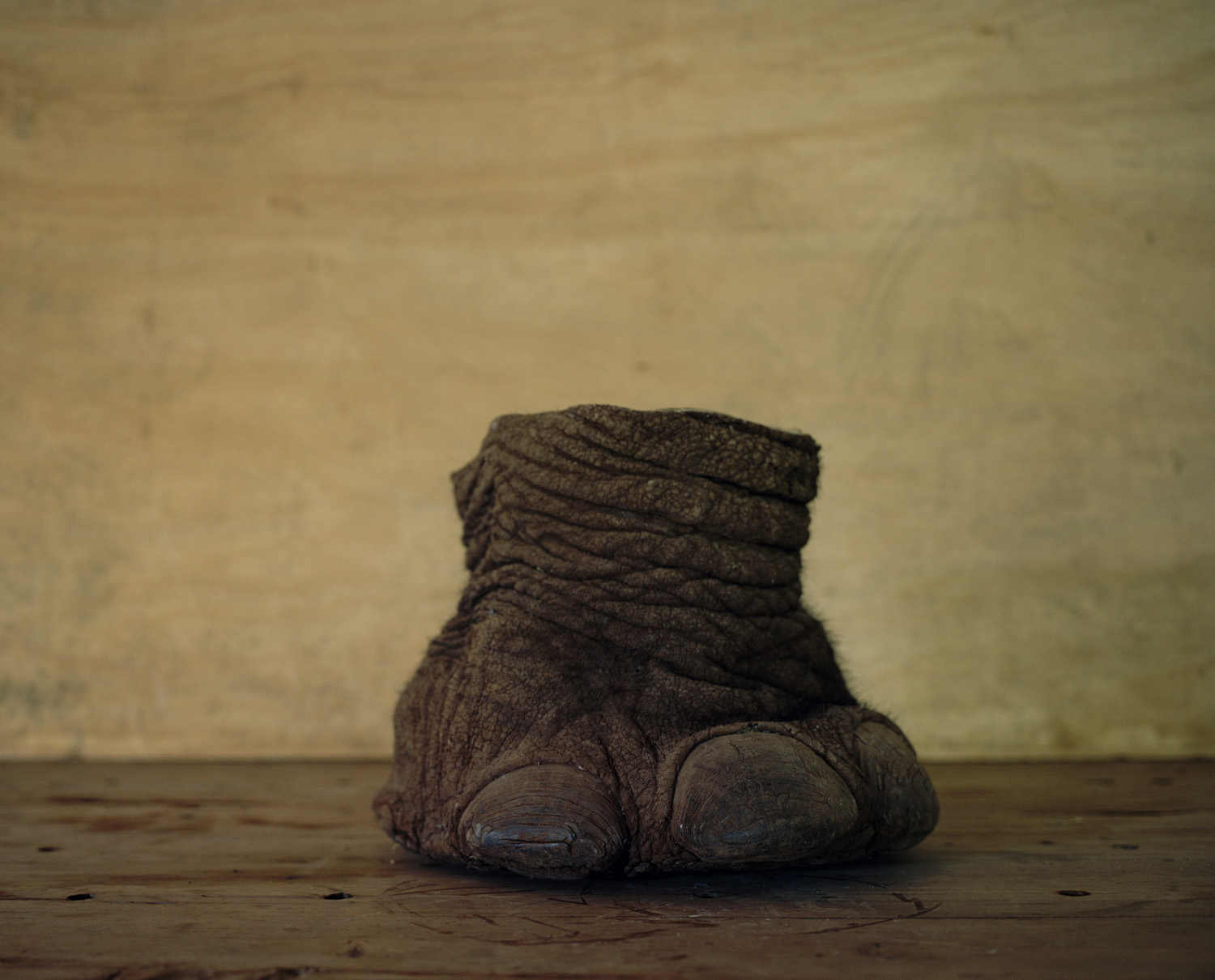 An elephant's foot, northern Kenya. Elephant's feet are used as waste paper bins and umbrella stands.