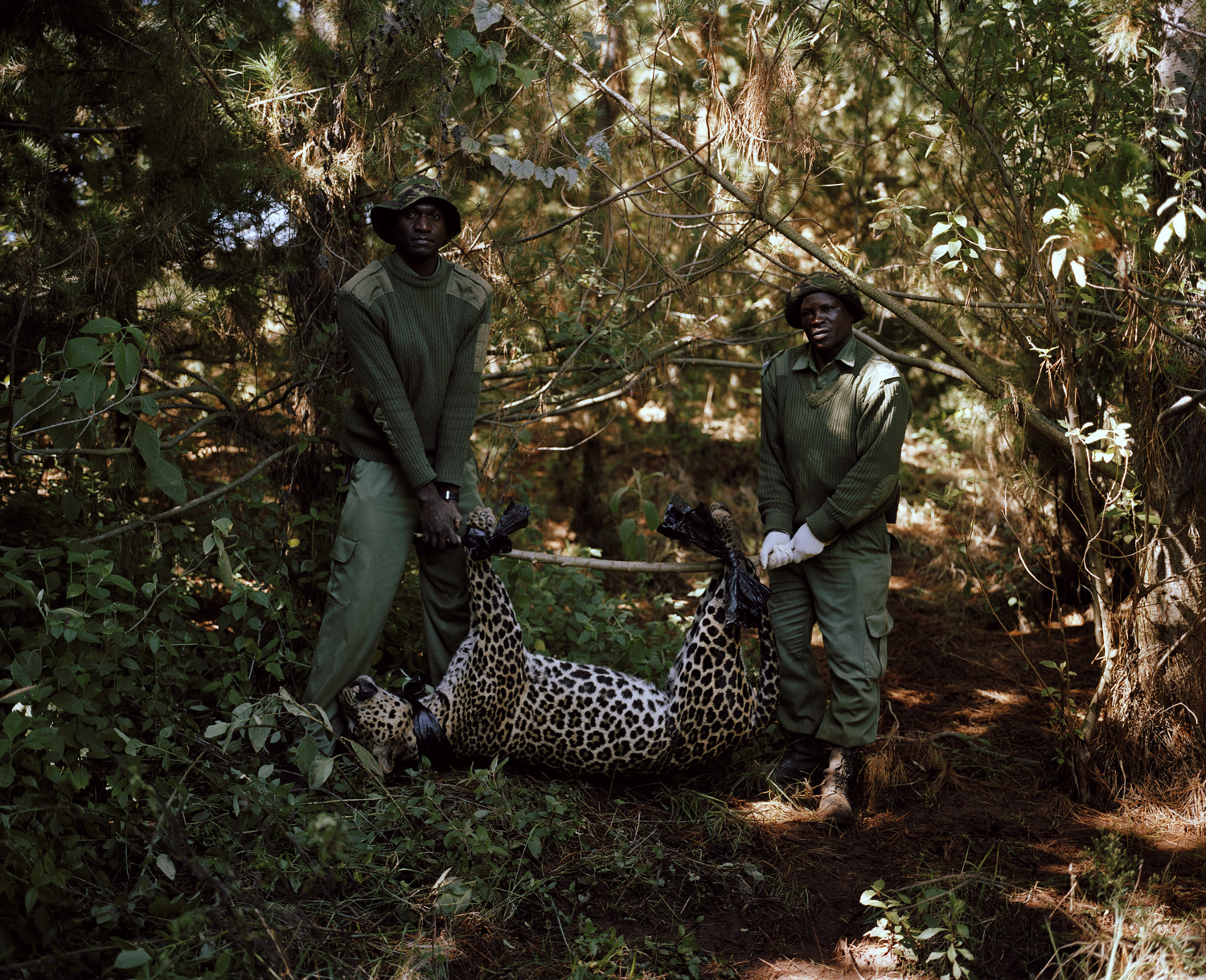 A leopard caught and killed in a poachers' snare is removed by conservancy rangers.