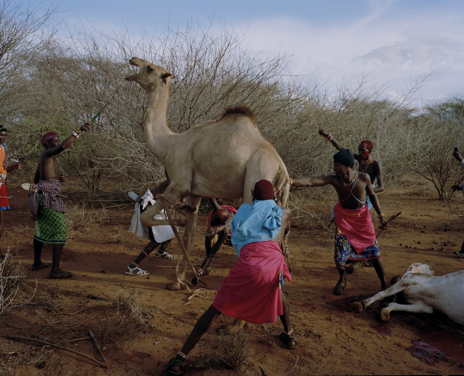 At dawn, Samburu Moran warriors take a camel to slaughter.