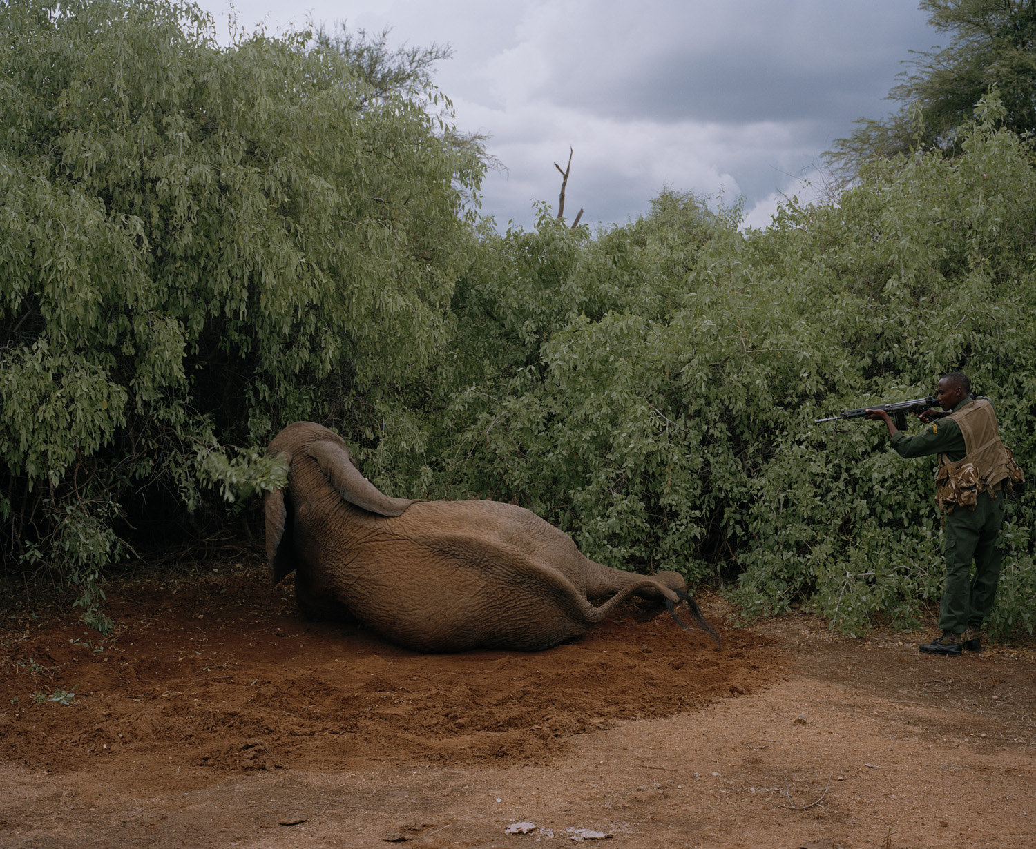 A Kenyan Wildlife service officer puts down a mortally wounded elephant that was shot, but managed to escape from poachers, Westgate Community Conservancy, Northern Kenya.