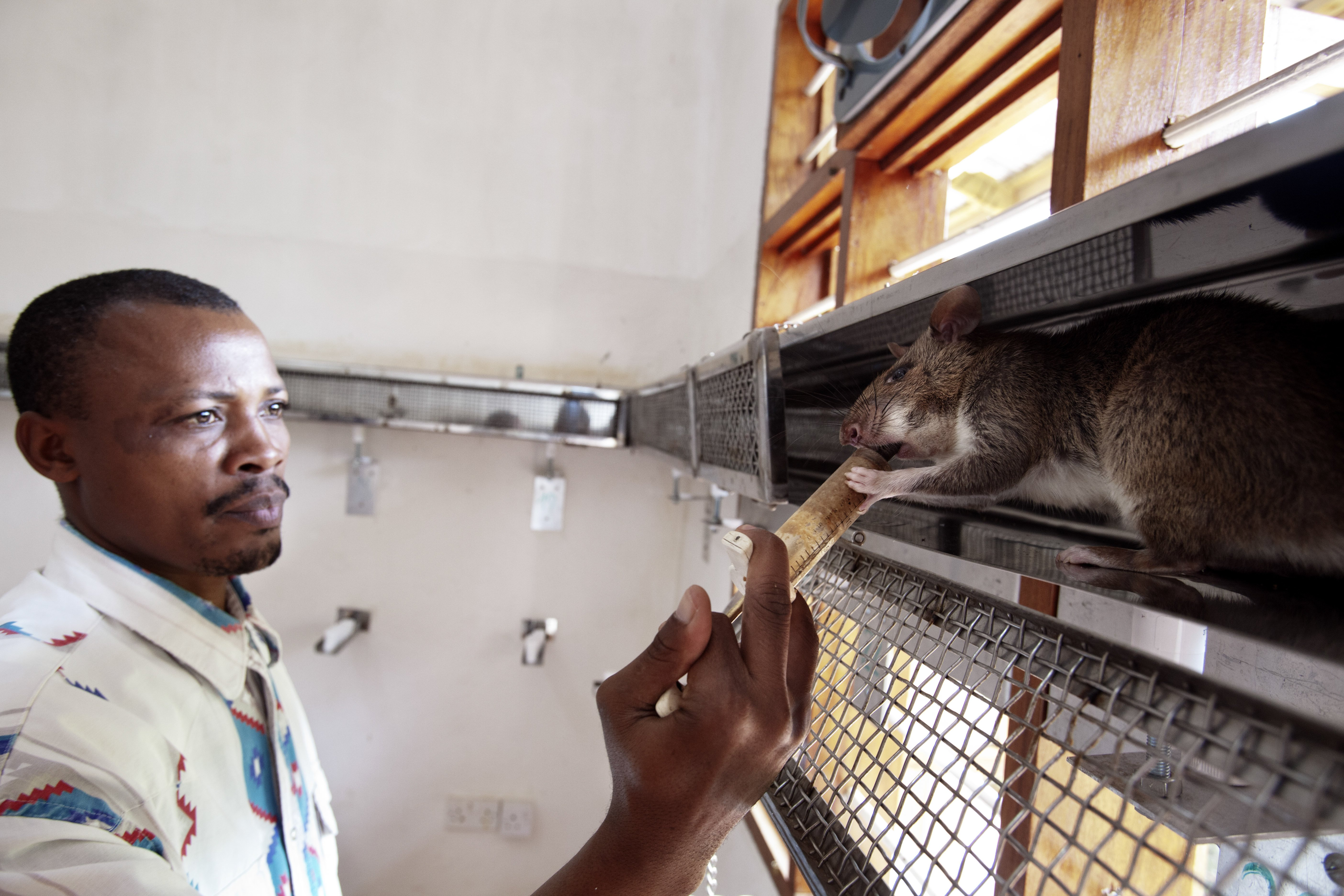 A coach gives pureed fruit to the rat in a corridor-shaped cage on June 20, 2014 in Morogoro, Tanzania. . The rat is being trained to detect TNT inside the cage. The rat stops walking when it has located the sample that contains TNT and is rewarded with the fruit.