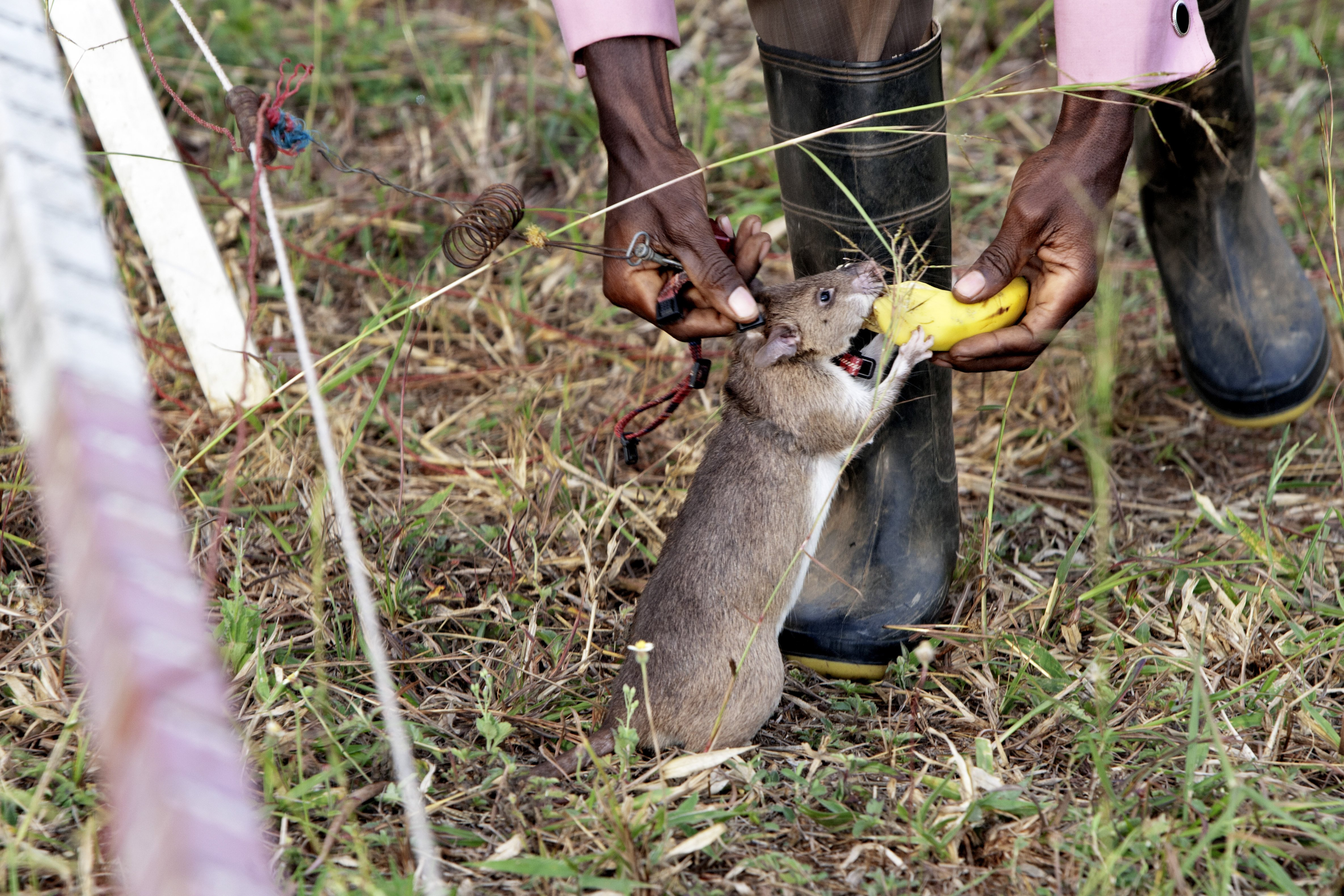 Local trainer Peter Mushi gives one of the rats a piece of banana as a reward A HeroRAT sniffs out a mine on June 20, 2014 in Morogoro, Tanzania. The rats are rewarded with a sweet or fruit when a mine or explosive device is found.