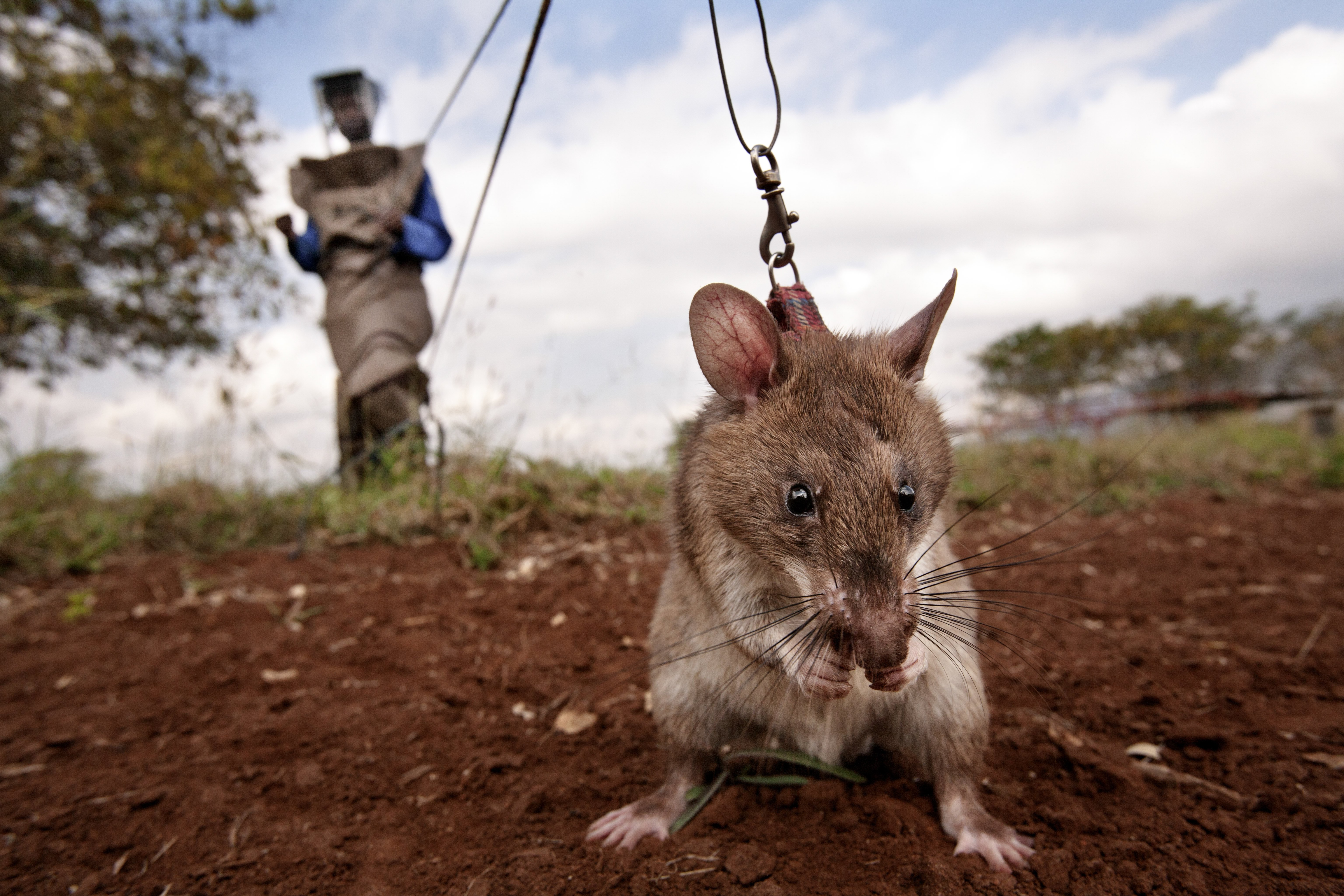 A trainer in a protective suit holds a HeroRAT on a leash as it searches for mines on June 20, 2014 in Morogoro, Tanzania. . The distance created between the trainer and the rat saves human lives and significantly curtails the risks to the human mine clearers.