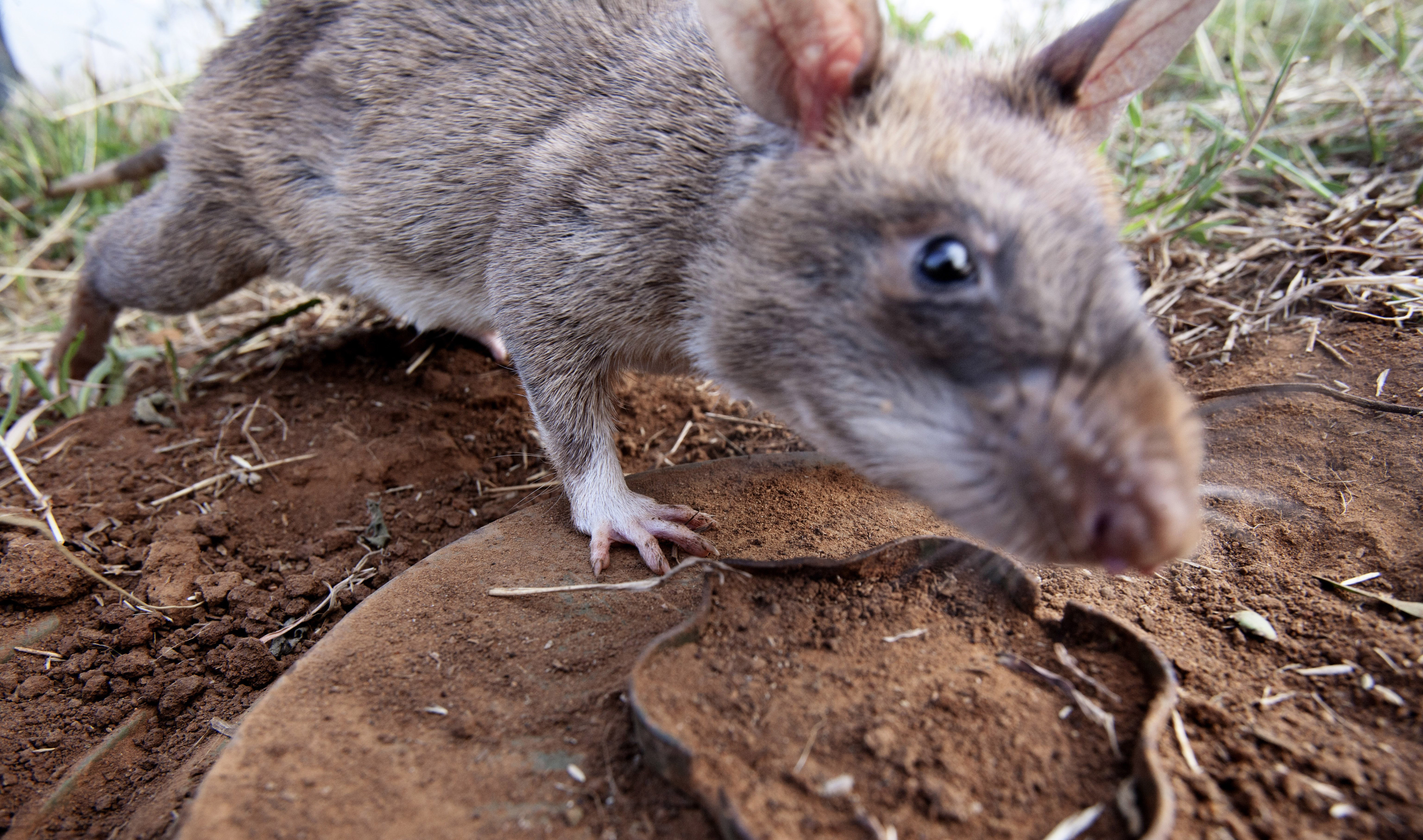 A HeroRAT sniffs out a mine on June 20, 2014 in Morogoro, Tanzania.