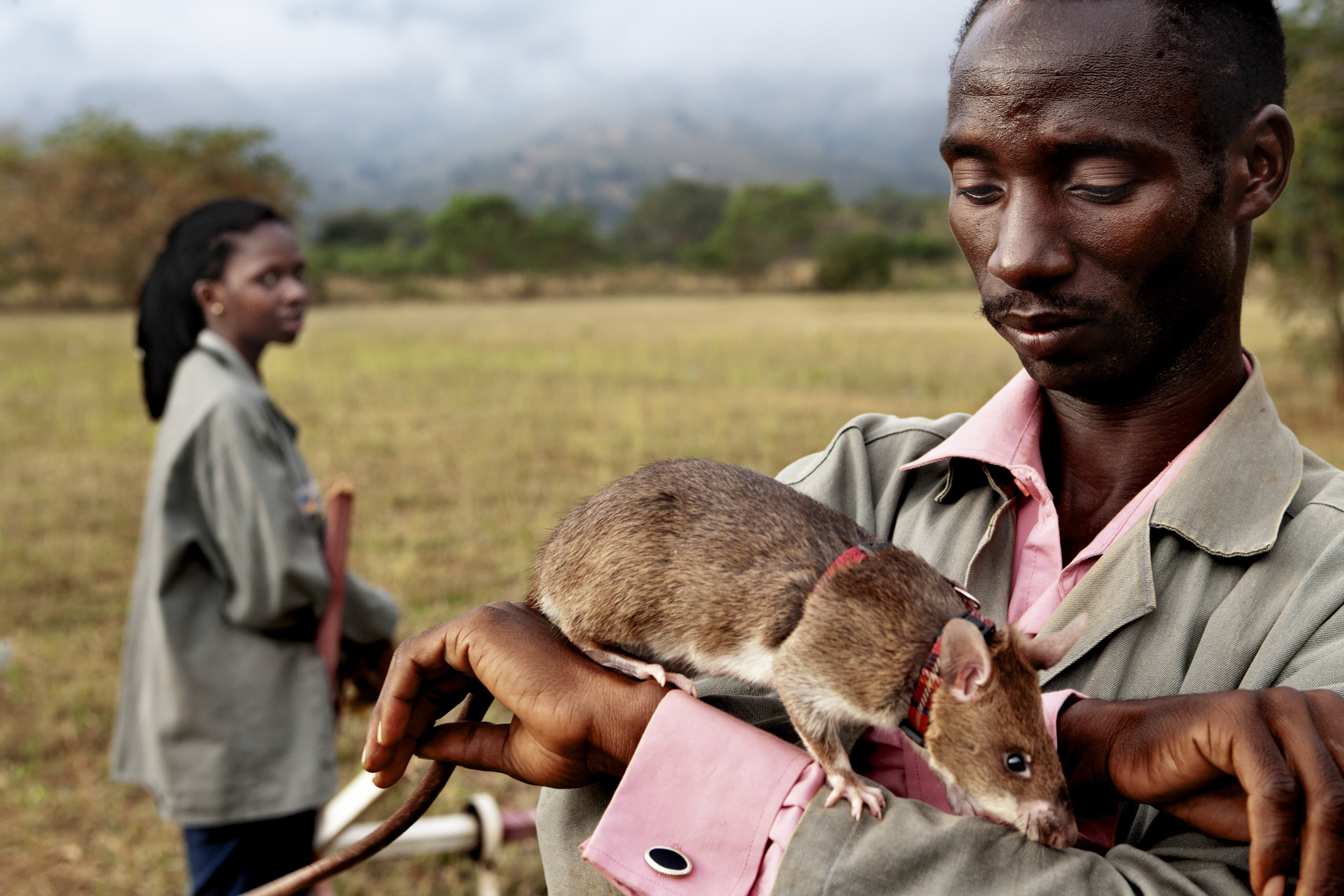 Trainer Peter Mushi prepares a rat for its daily lesson on June 20, 2014 in Morogoro, Tanzania.  Rats make perfect candidates for mine clearing because they weigh less than the 10kg required to detonate a mine.
