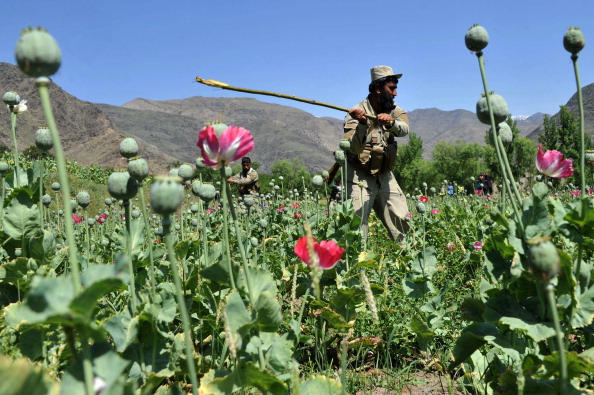 An Afghan security force member destroys an illegal poppy crop in the eastern Kunar province in April 2014.