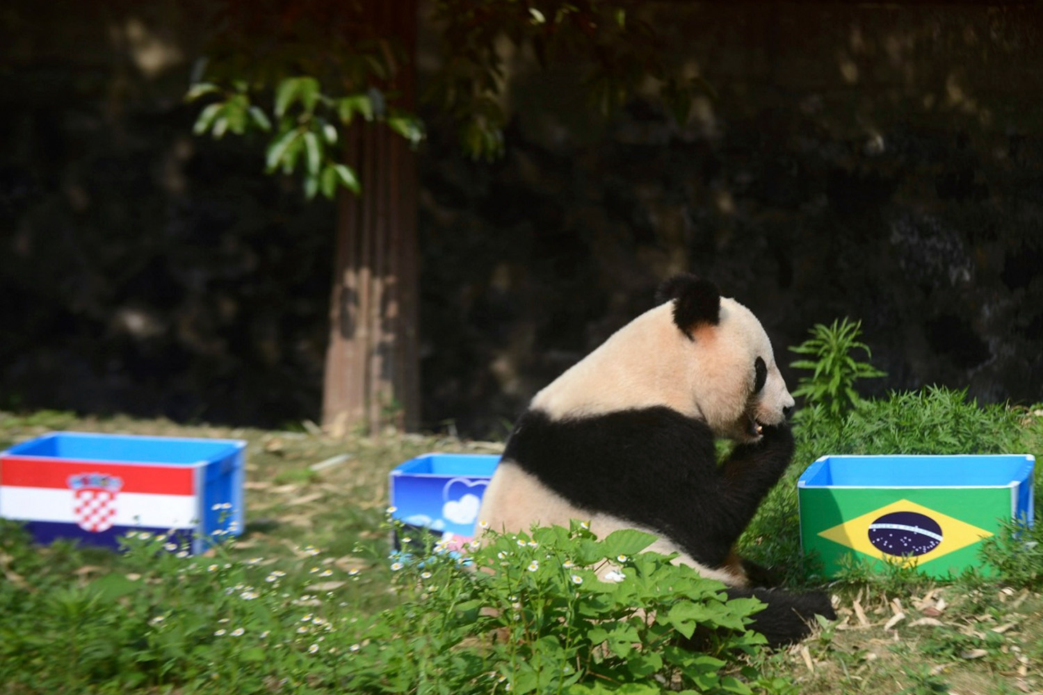 Giant panda Ying Mei sits next to a box of food with the Brazilian flag on it, during an event called  Panda Predicts World Cup Results , ahead of the 2014 World Cup opening match between Brazil and Croatia, in Yangzhou, Jiangsu province, June 12, 2014.