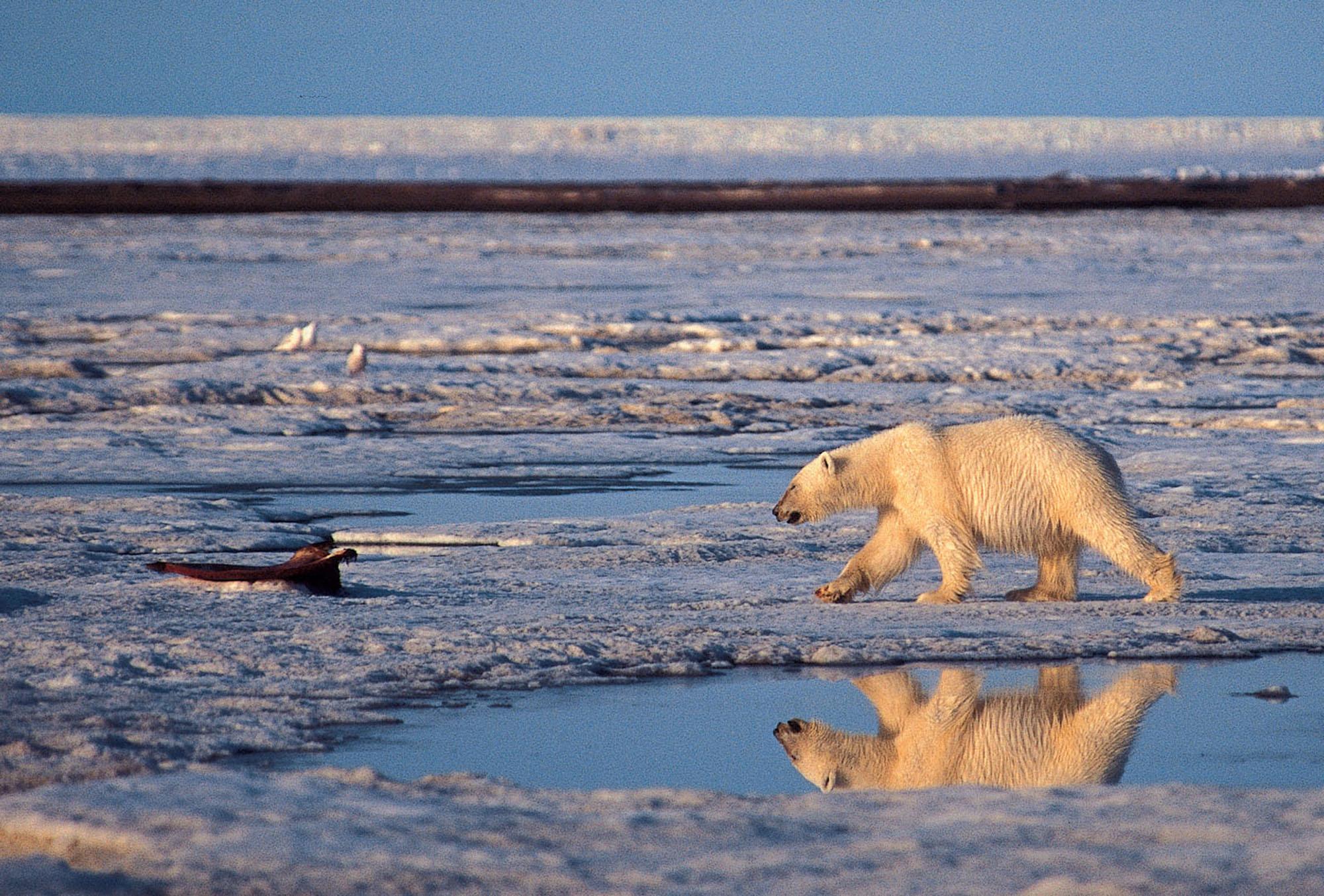A polar bear walking in the Arctic National Wildlife Refuge in Alaska in 2003.