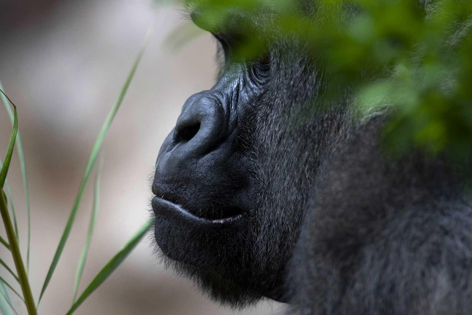 A gorilla hides behind a tree at the Loro Parque Zoo in Puerto de La cruz in Spain's Canary Island of Tenerife April 15, 2008.