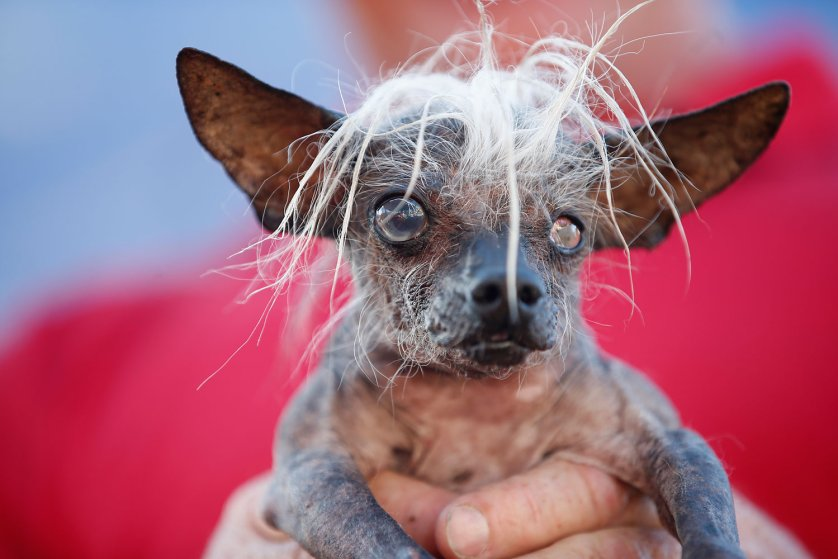 SweePee Rambo, a two-year-old Chihuahua Chinese Crested mix, is seen during the 2014 World's Ugliest Dog contest in Petaluma