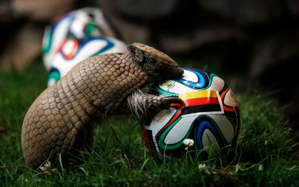This armadillo named Norman, Germany's World Cup oracle, approaches the soccer ball representing Germany as he makes his prediction for the team's opening World Cup match against Portugal on June 16, at the zoo in Muenster, Germany on June 13, 2014.