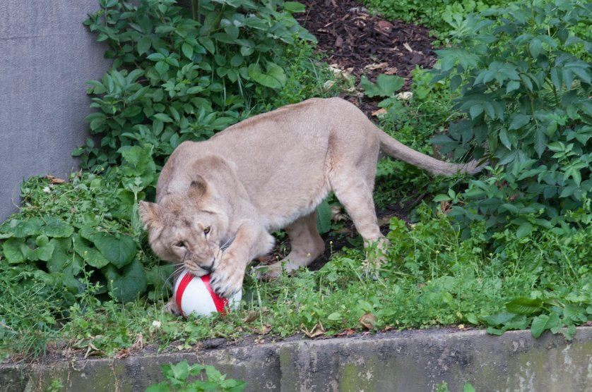 A lion at the London Zoo plays with a football in honor of the 2014 World Cup kick off in London on June 12, 2014.