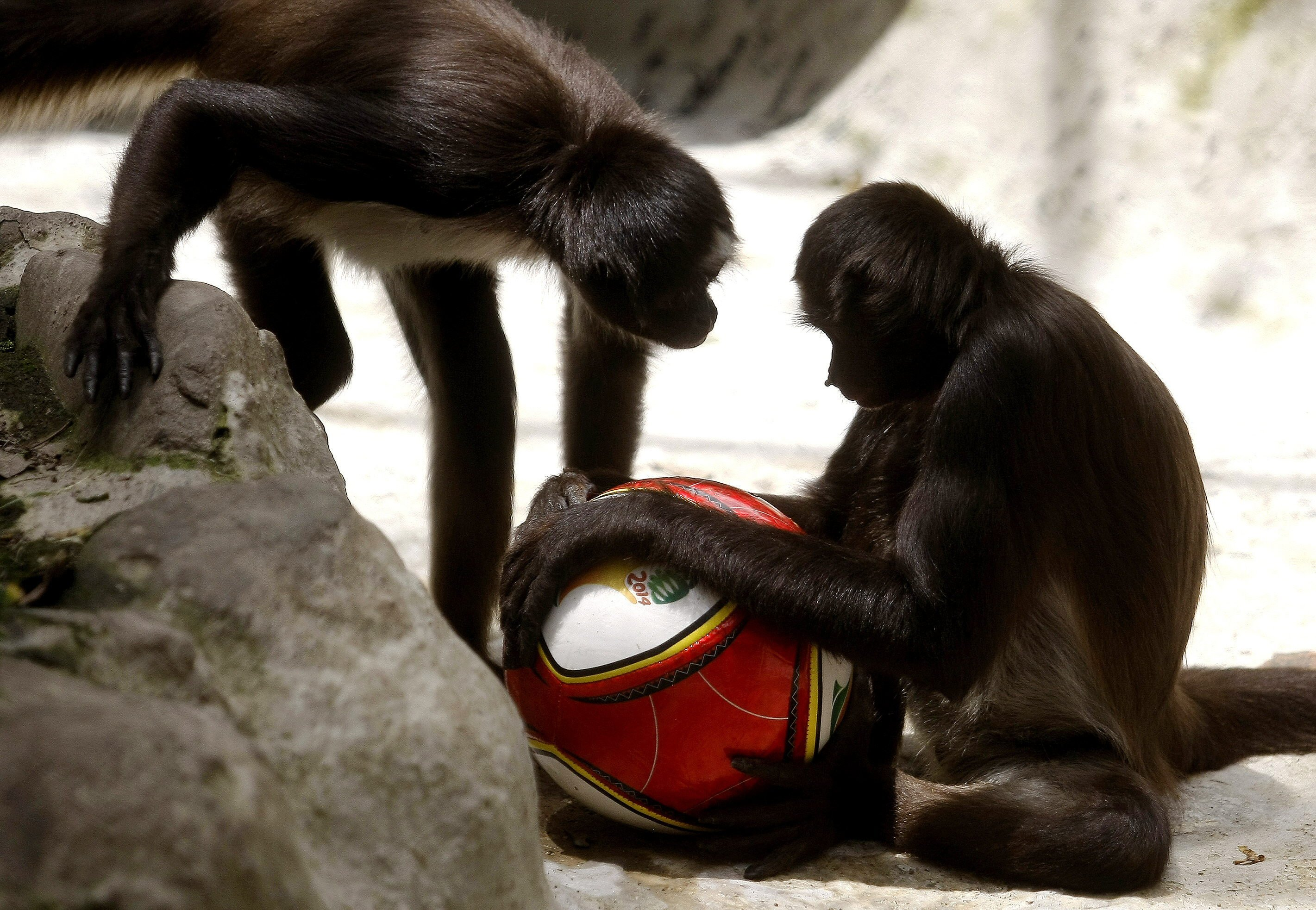Two monkey play with a soccer ball at the Zoo of Santa Fe in Medellin, Colombia, on June 12, 2014.