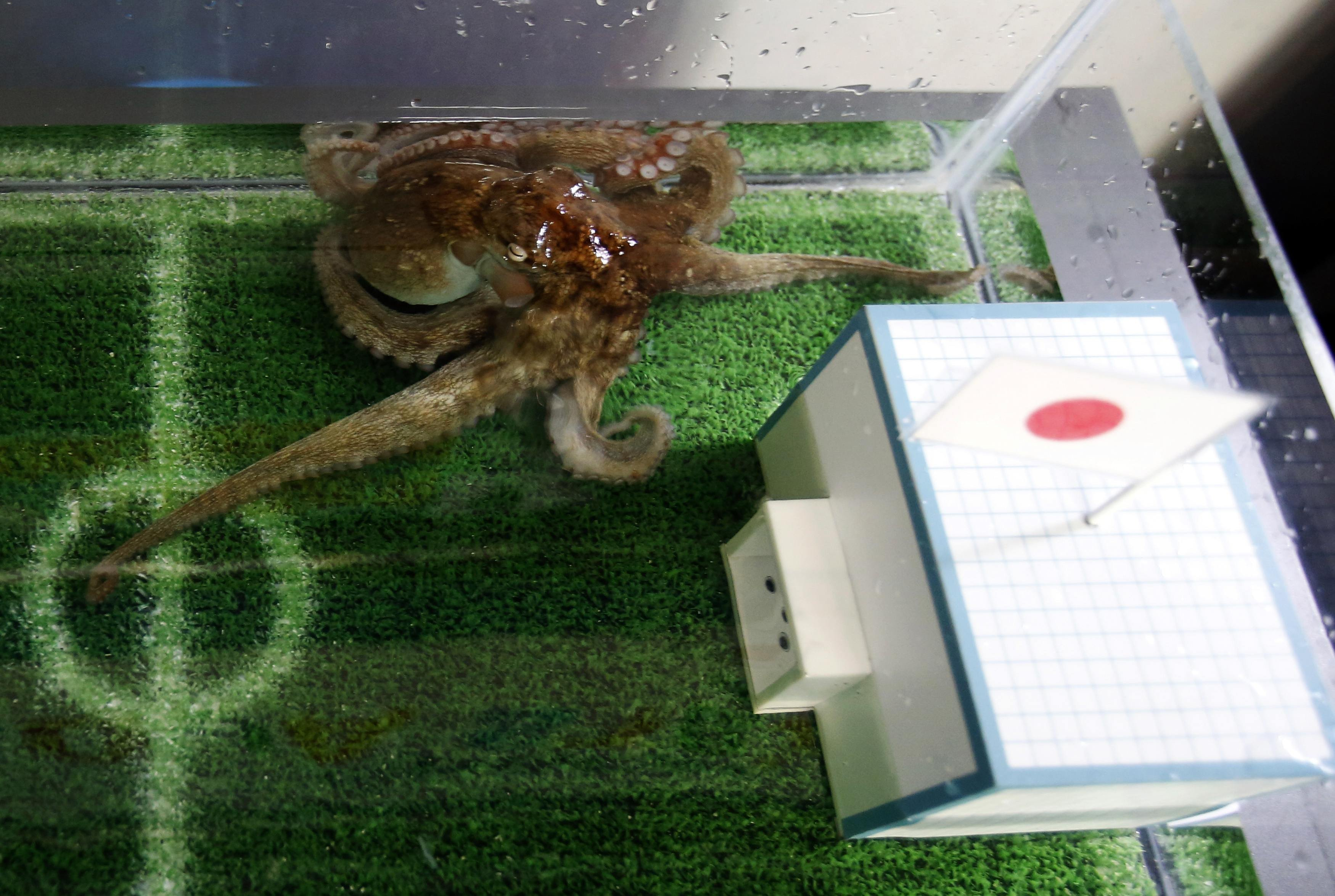 An octopus named Hacchan predicts Japan's victory in their match against Ivory Coast by choosing the mock goal with the Japanese national flag, at Shinagawa Aqua Stadium aquarium in Tokyo June 13, 2014.