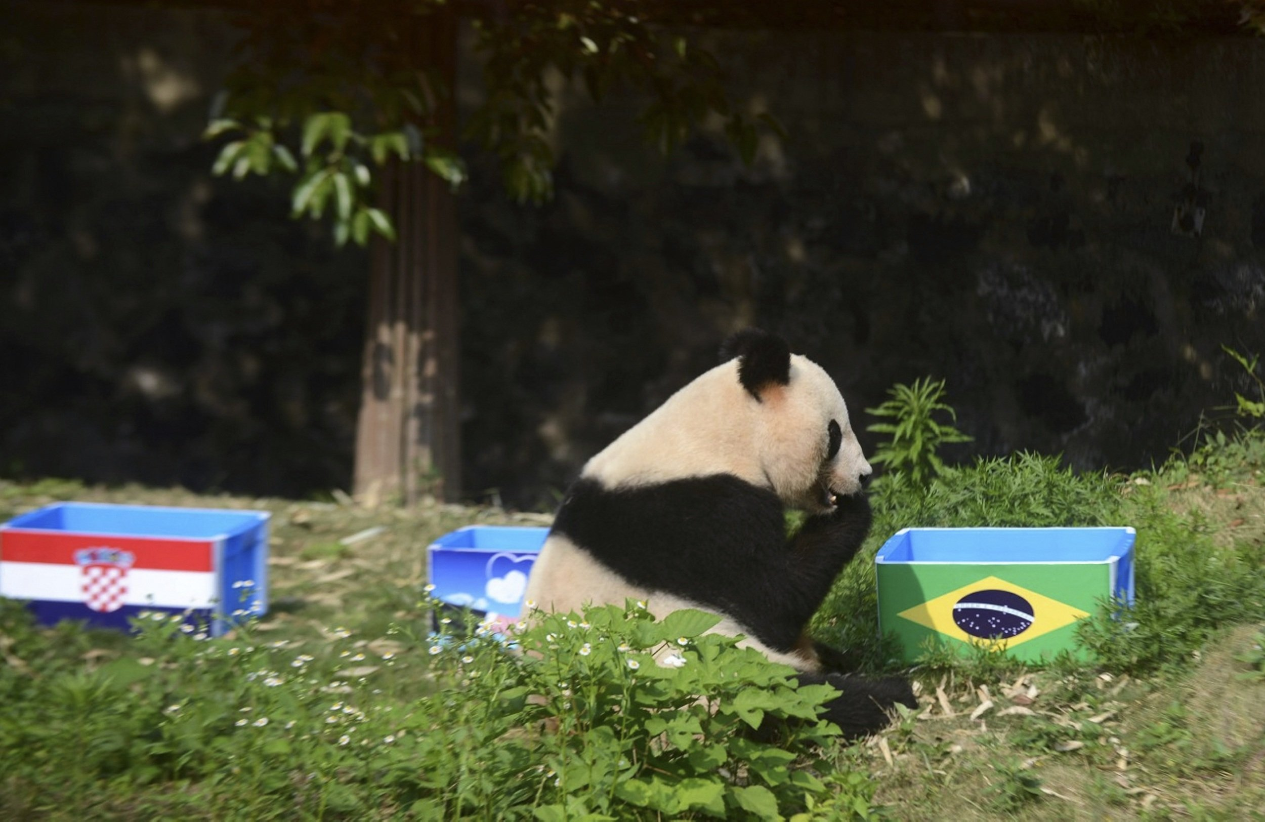 Giant panda Ying Mei sits next to a box of food with the Brazilian flag on it, during an event called  Panda Predicts World Cup Results , in Yangzhou, China on June 12, 2014.