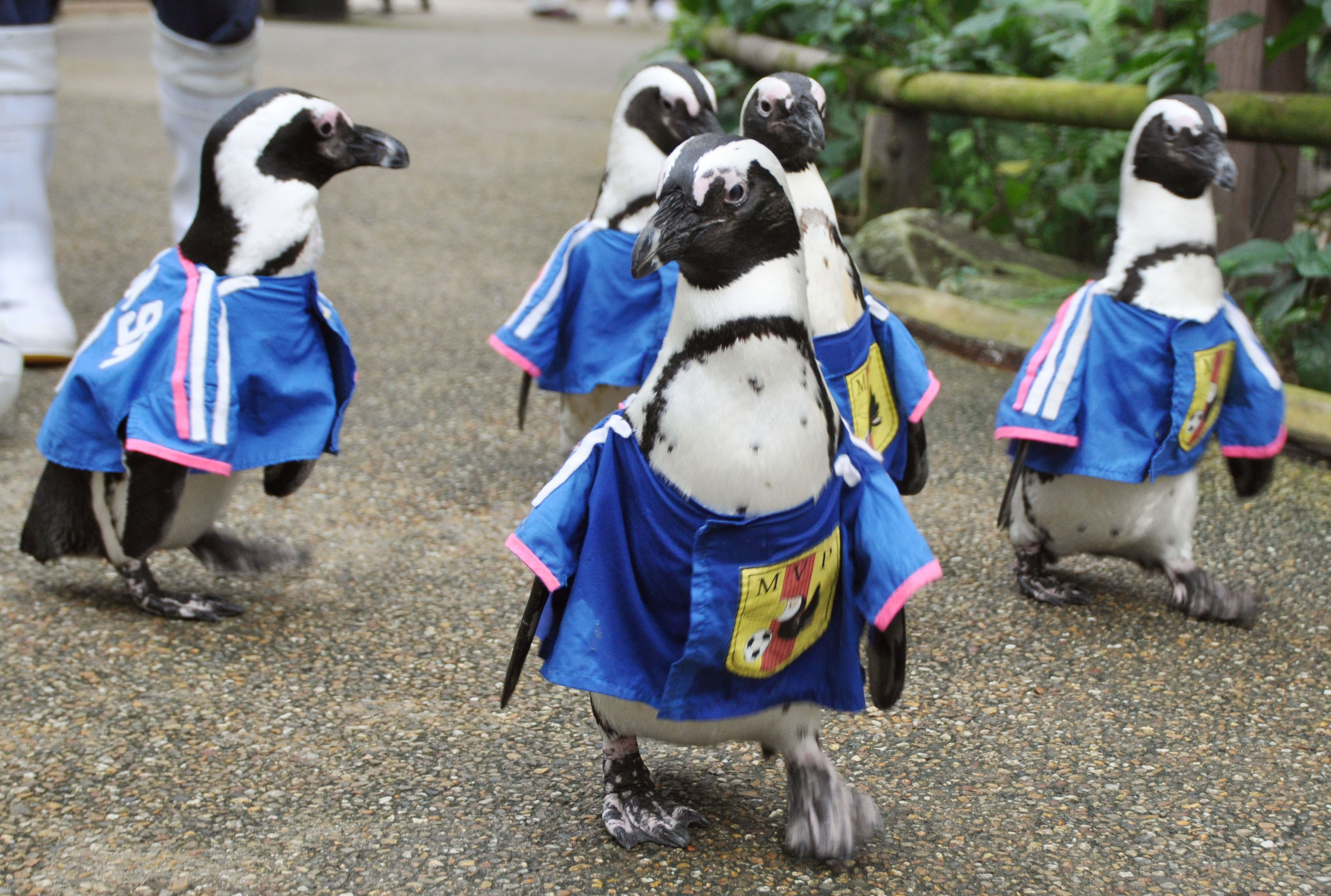 Penguins, each wearing a uniform similar to the jersey of Japan's national football team, walk in Matsue Vogel Park in Matsue, Japan, on June 11, 2014.