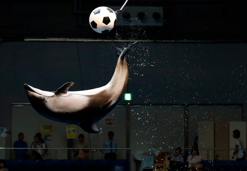 A dolphin jumps out of the water to knock a soccer ball in the air as part of an event in support of Japan's national soccer team at the 2014 World Cup during a show at Shinagawa Aqua Stadium aquarium in Tokyo on June 13, 2014.