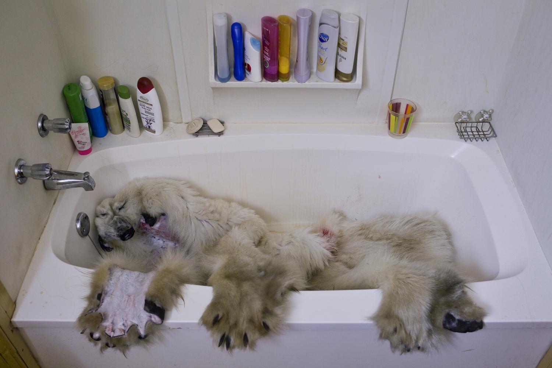 Arviat, Canada, Nov. 4, 2013. The frozen pelt of a polar bear, shot days earlier, thaws in a bathtub.