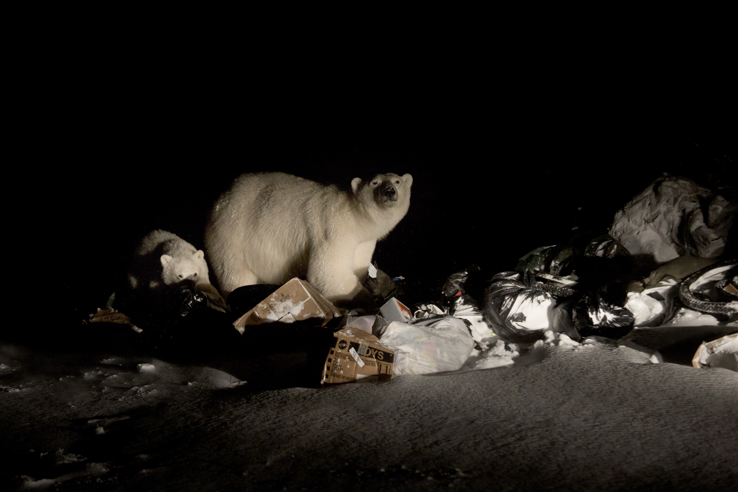 Arviat, Canada, Oct. 31, 2013. A polar bear and her cub rummage through garbage looking for food at the town dump. Due to a change in climate it is becoming more difficult for polar bears to reach their prime hunting spots on the ice. As a result, famished polar bears make their way into human settlements like Arviat.
