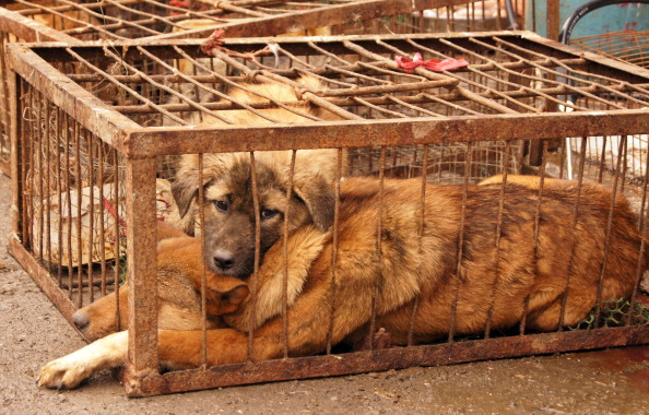 A dog is caged before slaughter in Guizhou, China, where many locals consume dog meat during the winter.
