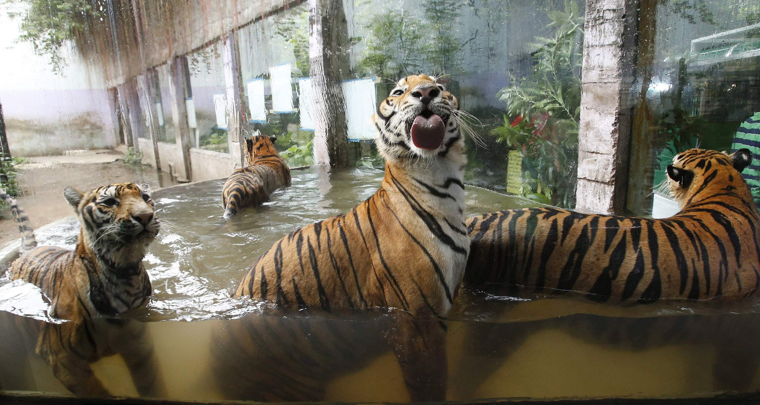 Bengal tigers play in a pool of water at the zoo in Malabon, Metro Manila, July 11, 2014.