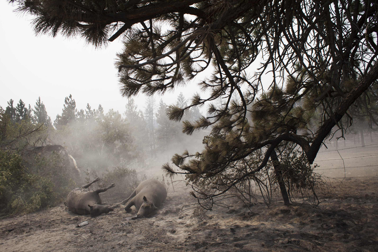 Jul. 20, 2014. Dust blows over deceased cattle, which fell victim to the Carlton Complex Fire, on ranch land near Malott, Washington.