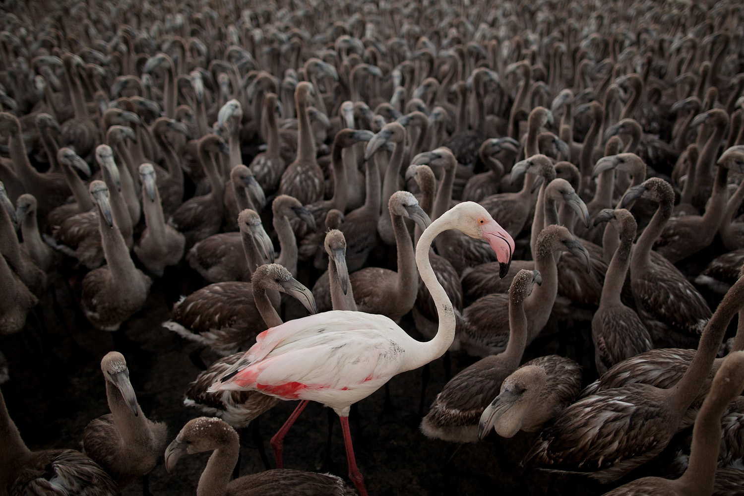 Jul. 19, 2014. An adult flamingo stands with flamingo chicks in an enclosure before they are tagged in Fuente de Piedra lake in Spain.