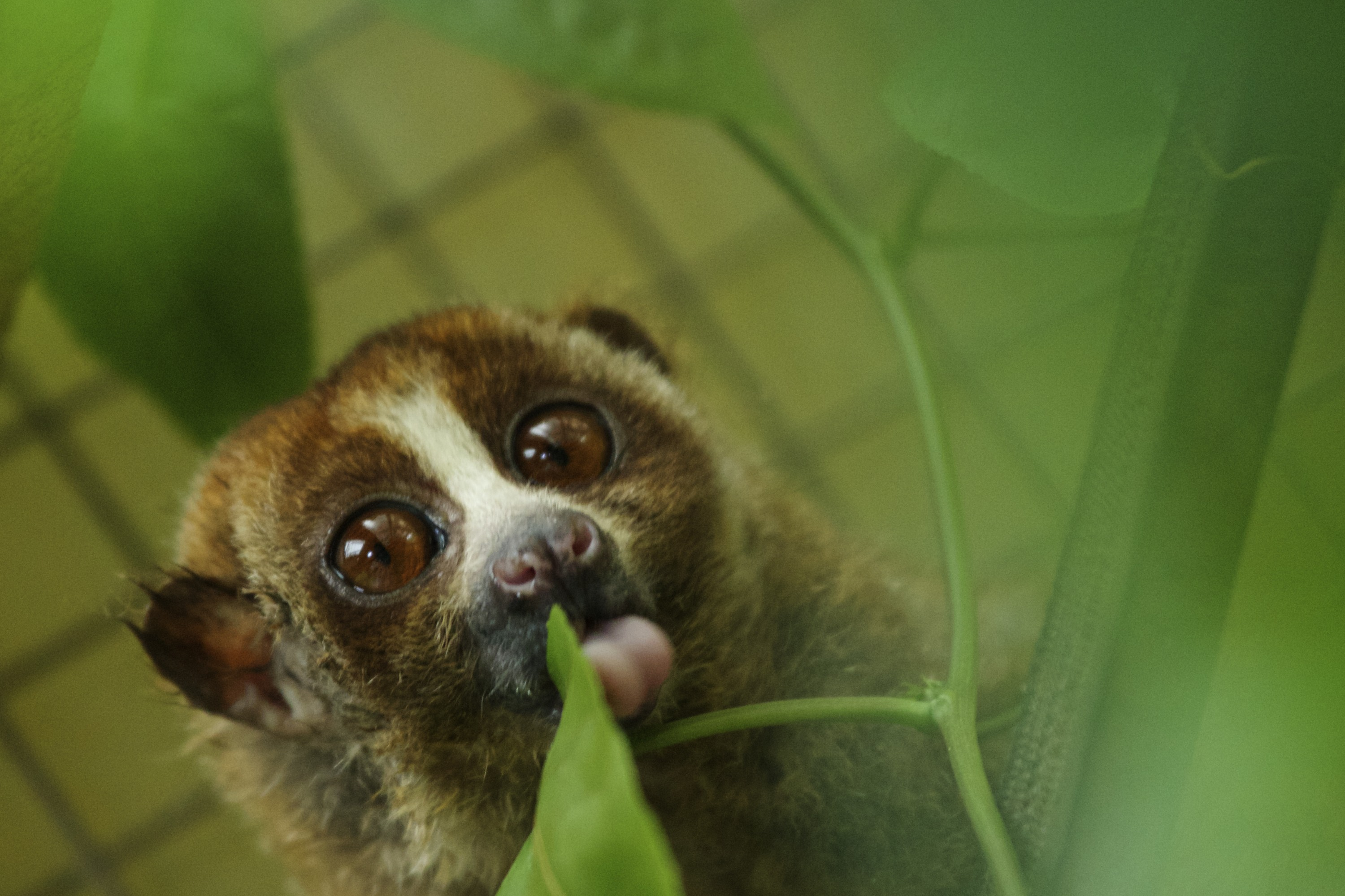 A slow loris in its cage at a sanctuary for the endangered animals, which have been confiscated from individuals or markets that illegally sell them as pets, on February 27, 2014 in Bogor, Indonesia.