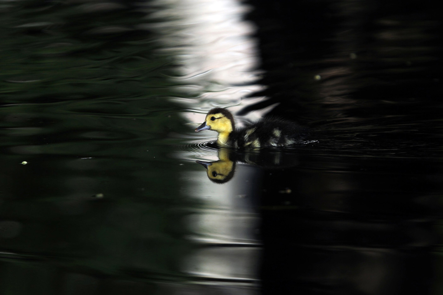 A baby duck is reflected on the water surface, in the early morning in a public park in Lisbon on July 15, 2014.