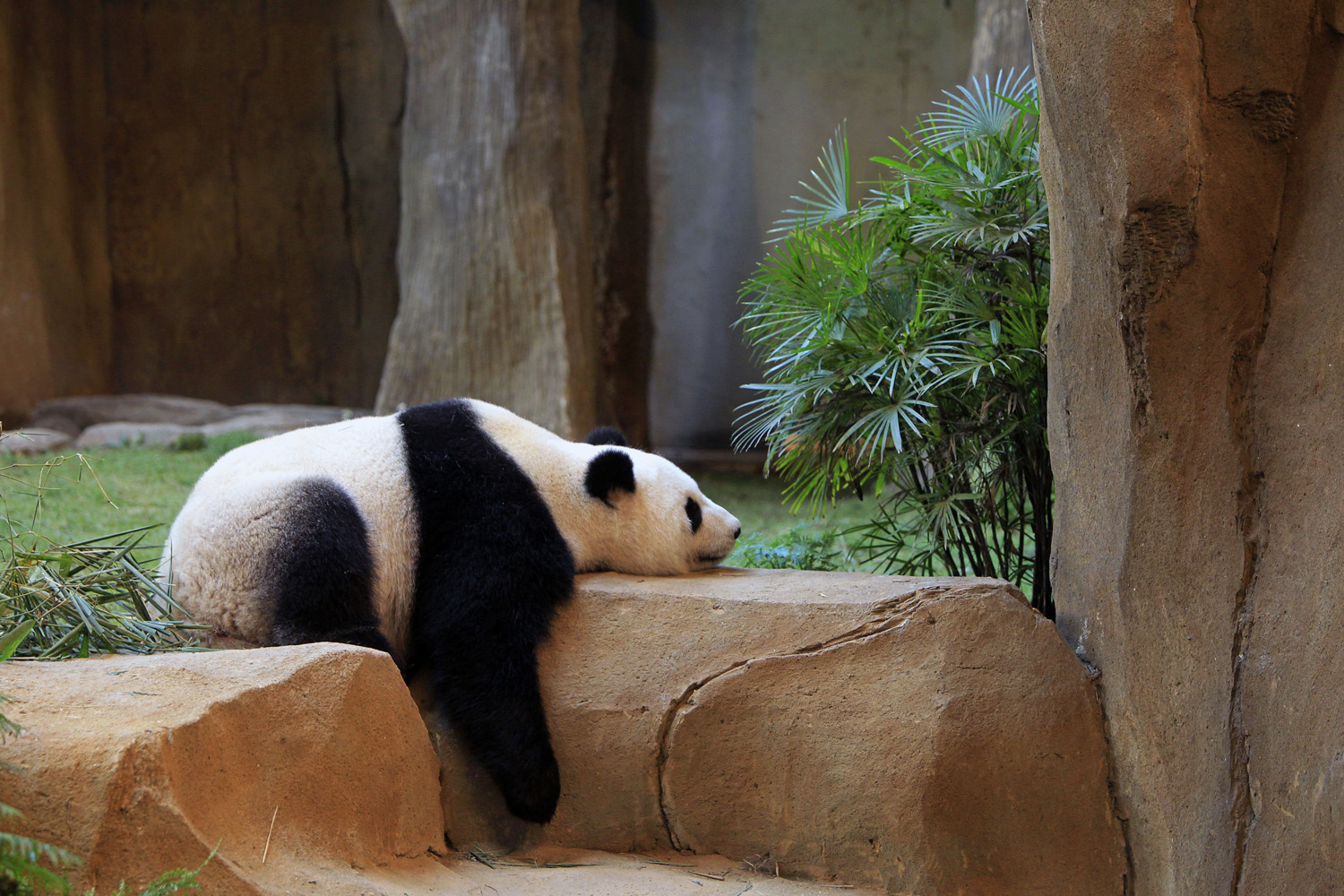 Liang Liang, formerly known as Feng Yi, one of two giant pandas from China, sleeps at the Giant Panda Conservation Center at the National Zoo in Kuala Lumpur, Malaysia on June 28, 2014.