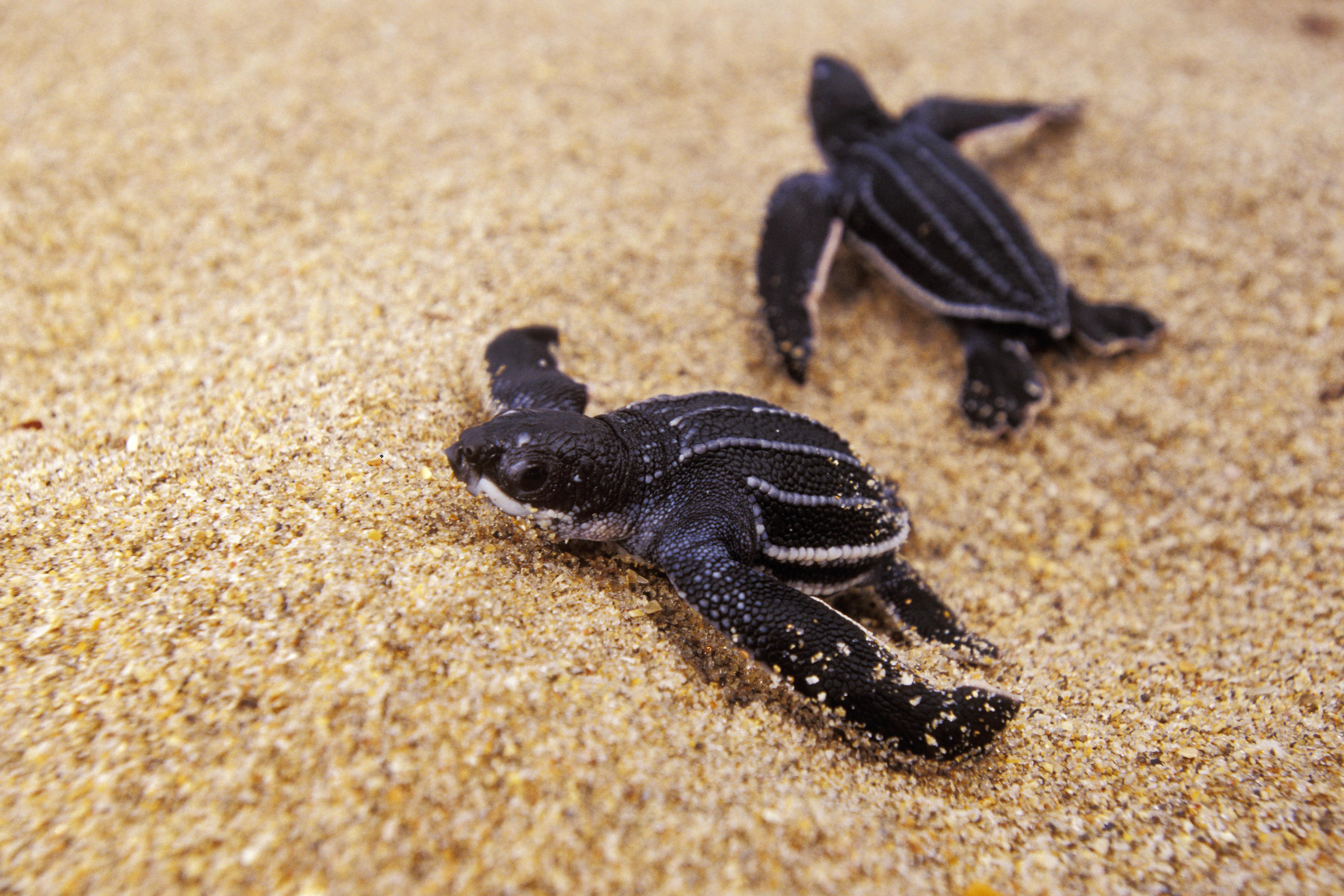 Live Webcam Captures Hatching Of Endangered Baby Turtles In Florida Time