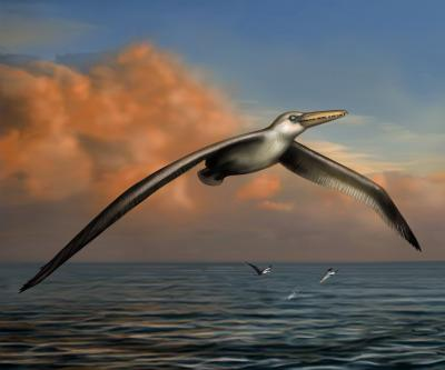 This is a reconstruction of the world's largest-ever flying bird, Pelagornis sandersi, identified by Daniel Ksepka, Curator of Science at the Bruce Museum in Greenwich, Conn. Reconstruction art is by Liz Bradford.