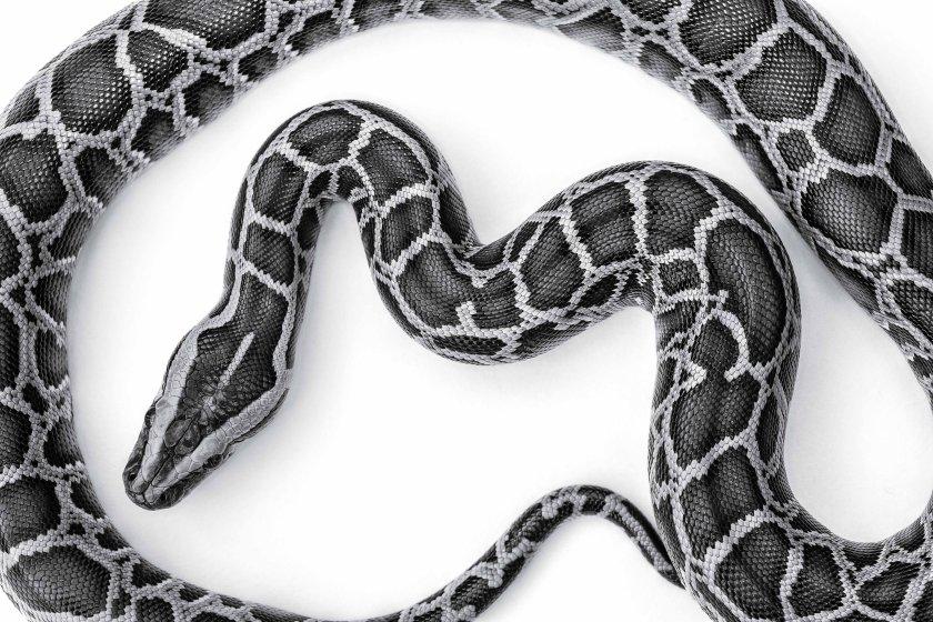Burmese Python Florida Everglades 2014 Invasive Species